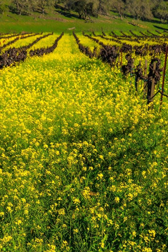 Mustards in the Vine