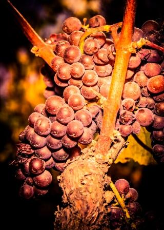Mature Grapes