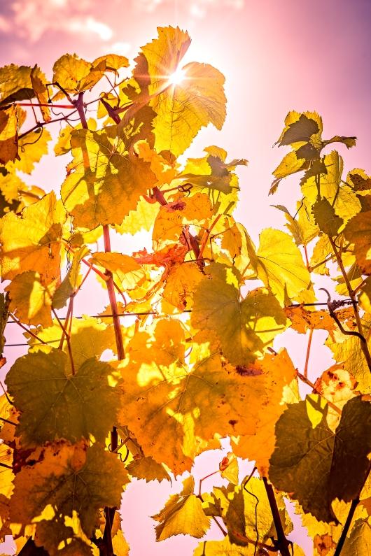 Fall in Napa